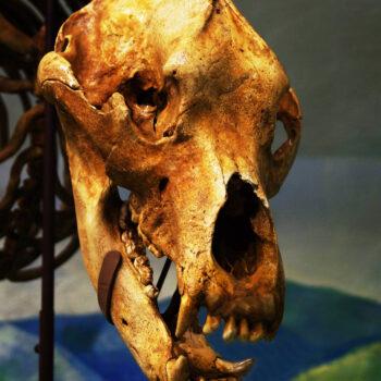 Höhlenbärschädel im Fränkische Schweiz Museum